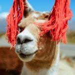 Ist das ein Lama?
