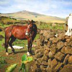 Pferde auf Rapa Nui