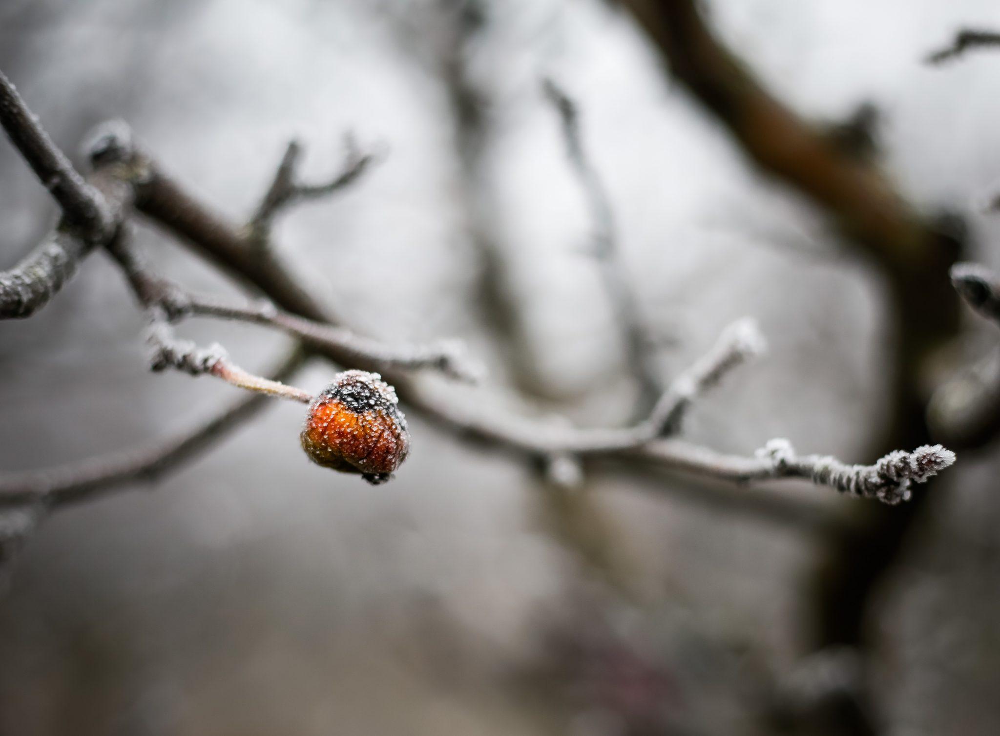Gefrorene rote Hagebutte im Winter